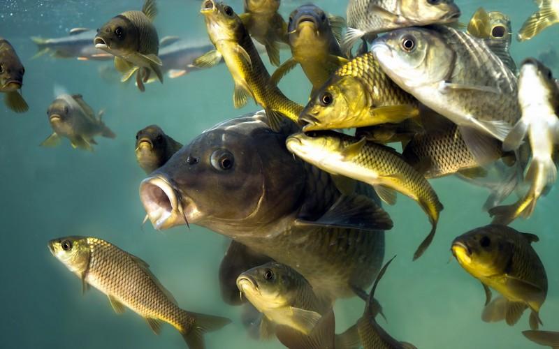 Компресс из речной рыбы